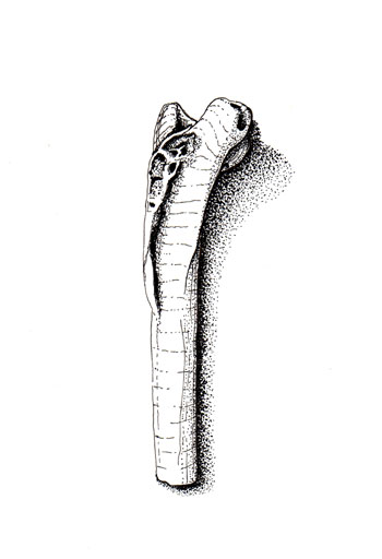 fossil illustration